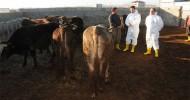 Van'da Şap Virüsü Tespit Edildi