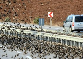 Sığırcık Kuşları Bursa'da Yolu  Kapattı
