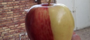 İran'da Yarısı Sarı Yarısı Kırmızı Elma Şaşkınlık Yarattı