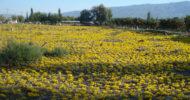 200 Yıllık Mezarlık Sarı Çiğdemlere Bürünüyor