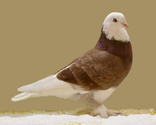 Taklacı güvercin (Wikimedia)