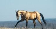 Ahal Teke: Altın Renkli Türk Atı