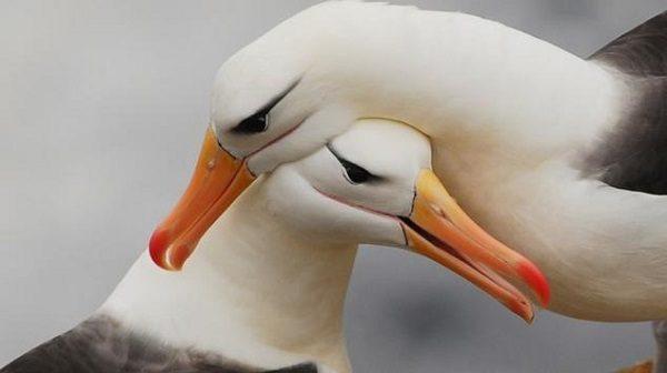 Albatros (Fotoğraf: explosion)