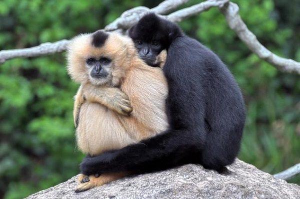 Gibbon Maymunları (Fotoğrafları: rspb)