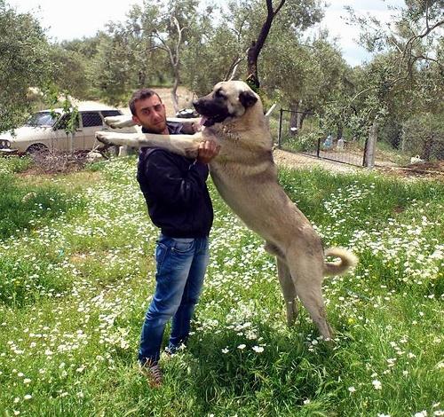 Adını anavatanı Sivas'ın Kangal ilçesinden alan Kangal köpekleri iri cüsseleriyle dikkat çekiyor (Fotoğraf: İHA)