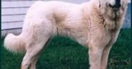 Akbaş Çoban Köpeği: Zeki, Cesur ve Sadık