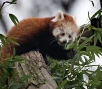 Kızıl Panda Yavrusu