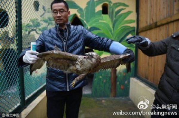 Sis yüzünden aç kalan ve bitkin bir halde yere çakılan yırtıcı bir kuş (Foto: Screenshot / Weibo)