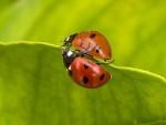 İki Uğur Böceği