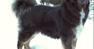 Dünyanın En Pahalı Köpeği: Tibet Mastifi